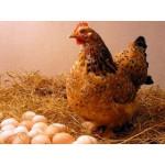 Вопросы о высиживании яиц
